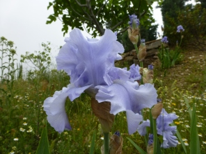 Blue iris 13 May 13 - Copy