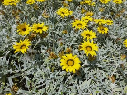Yellow black daisies May 13 - Copy